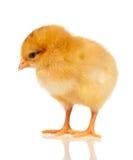 Λίγο κοτόπουλο Στοκ Εικόνα