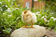 Λίγο κοτόπουλο ι πέτρα Στοκ Εικόνες
