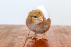 Λίγο κοτόπουλο στο λευκό Στοκ φωτογραφία με δικαίωμα ελεύθερης χρήσης