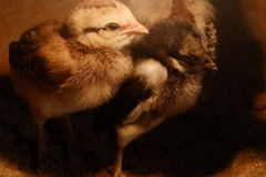 Λίγο κοτόπουλο το χειμώνα Στοκ φωτογραφία με δικαίωμα ελεύθερης χρήσης