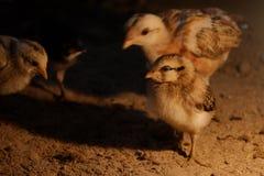 Λίγο κοτόπουλο το χειμώνα Στοκ Εικόνες