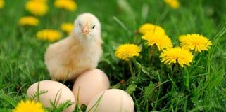 Λίγο κοτόπουλο Στοκ εικόνα με δικαίωμα ελεύθερης χρήσης