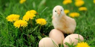 Λίγο κοτόπουλο Στοκ εικόνες με δικαίωμα ελεύθερης χρήσης