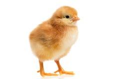 Λίγο κοτόπουλο Στοκ φωτογραφία με δικαίωμα ελεύθερης χρήσης