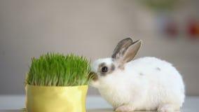 Λίγο κουνέλι που τρώει την πράσινη οργανική χλόη, βιταμίνες συμπληρώνει, προσοχή κατοικίδιων ζώων, οικολογία φιλμ μικρού μήκους