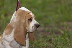 Λίγο κυνηγόσκυλο μπασέ κουταβιών για πρώτη φορά σε ένα λουρί σε ένα wal Στοκ Εικόνα