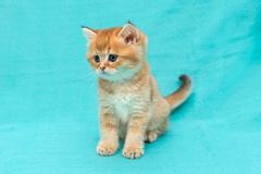 Λίγο κόκκινο γατάκι της φυλής Βρετανοί Στοκ Φωτογραφίες