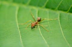 Λίγο κόκκινο μυρμήγκι στο πράσινο φύλλο Στοκ φωτογραφία με δικαίωμα ελεύθερης χρήσης