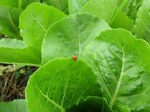 Λίγο κόκκινο ladybug που περπατά στην άκρη του βεραμάν φυτικού φύλλου Στοκ εικόνα με δικαίωμα ελεύθερης χρήσης
