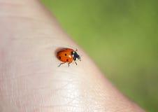 Λίγο κόκκινο ladybug που σέρνεται σε ετοιμότητα ανθρώπινο Στοκ φωτογραφίες με δικαίωμα ελεύθερης χρήσης
