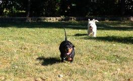 Λίγο μαύρο λευκό τεριέ ορεινών περιοχών dachshund και δύσης που παίζει το ο στοκ εικόνες με δικαίωμα ελεύθερης χρήσης