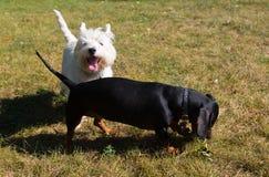 Λίγο μαύρο λευκό τεριέ ορεινών περιοχών dachshund και δύσης που παίζει το ο στοκ εικόνα