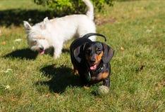 Λίγο μαύρο λευκό τεριέ ορεινών περιοχών dachshund και δύσης που παίζει το ο στοκ φωτογραφία με δικαίωμα ελεύθερης χρήσης