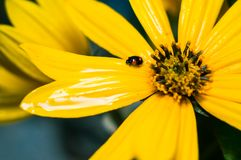 Λίγο μαύρο ladybug στις πτώσεις της δροσιάς σε ένα κίτρινο λουλούδι στοκ εικόνες