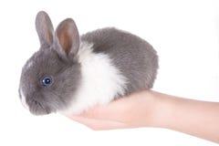 Λίγο μπλε eyed κουνέλι στα χέρια Στοκ φωτογραφίες με δικαίωμα ελεύθερης χρήσης