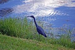Λίγο μπλε ερωδιός στην ακτή ενός έλους στοκ εικόνα