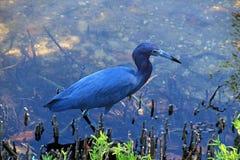 Λίγο μπλε ερωδιός στοκ φωτογραφία με δικαίωμα ελεύθερης χρήσης