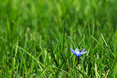 Λίγο μπλε λουλούδι Στοκ Φωτογραφίες