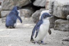 Λίγο μπλε Penguins, ανήλικος Eudyptula στην αιχμαλωσία Στοκ Εικόνες