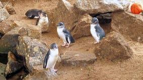 Λίγο μπλε Penguins, ανήλικος Eudyptula Στοκ Φωτογραφία
