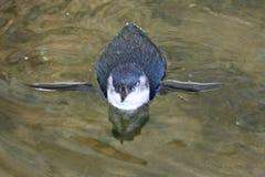 Λίγο μπλε Penguins, ανήλικος Eudyptula Στοκ Φωτογραφίες