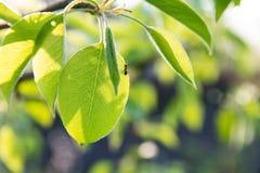 Λίγο μυρμήγκι στην πράσινη άδεια Στοκ Εικόνες