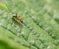 Λίγο μυρμήγκι στη φύση Μακροεντολή Στοκ φωτογραφία με δικαίωμα ελεύθερης χρήσης