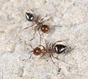 Λίγο μυρμήγκι στη φύση Μακροεντολή Στοκ Φωτογραφίες
