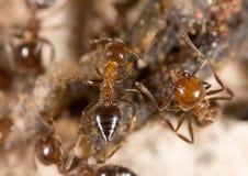 Λίγο μυρμήγκι στη φύση Μακροεντολή Στοκ εικόνες με δικαίωμα ελεύθερης χρήσης