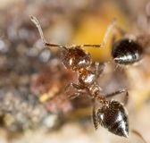 Λίγο μυρμήγκι στη φύση Μακροεντολή Στοκ εικόνα με δικαίωμα ελεύθερης χρήσης