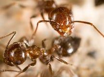 Λίγο μυρμήγκι στη φύση Μακροεντολή Στοκ φωτογραφίες με δικαίωμα ελεύθερης χρήσης