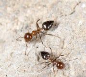 Λίγο μυρμήγκι στη φύση Μακροεντολή Στοκ Εικόνες