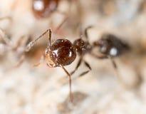 Λίγο μυρμήγκι στη φύση μακρο καλοκαίρι λουλουδιών του 2009 έξοχο Στοκ φωτογραφίες με δικαίωμα ελεύθερης χρήσης