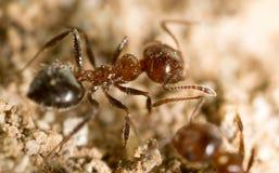 Λίγο μυρμήγκι στη φύση μακρο καλοκαίρι λουλουδιών του 2009 έξοχο Στοκ εικόνες με δικαίωμα ελεύθερης χρήσης