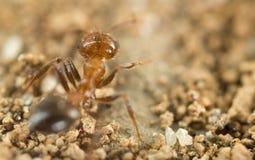 Λίγο μυρμήγκι στη φύση μακρο καλοκαίρι λουλουδιών του 2009 έξοχο Στοκ Εικόνα