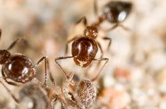 Λίγο μυρμήγκι στη φύση μακρο καλοκαίρι λουλουδιών του 2009 έξοχο Στοκ Φωτογραφία