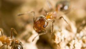 Λίγο μυρμήγκι στη φύση μακρο καλοκαίρι λουλουδιών του 2009 έξοχο Στοκ φωτογραφία με δικαίωμα ελεύθερης χρήσης