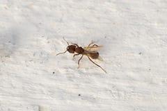 Λίγο μυρμήγκι στον άσπρο τοίχο Έξοχος στενός, μακροεντολή Στοκ Φωτογραφίες