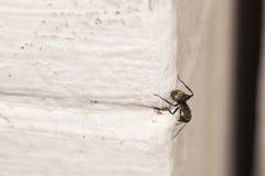 Λίγο μυρμήγκι στον άσπρο τοίχο Έξοχος στενός, μακροεντολή Στοκ Εικόνα
