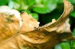 Λίγο μυρμήγκι στο νεκρό ξηρό φύλλο στενό στον επάνω εστίασης κήπων εκλεκτικό Στοκ Φωτογραφία