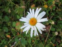 Λίγο μυρμήγκι στο λουλούδι της μαργαρίτας Στοκ Εικόνες