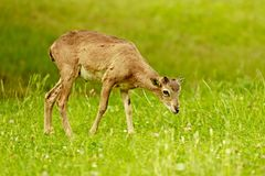Λίγο να ταΐσει mouflon με την πράσινη χλόη Στοκ Φωτογραφίες