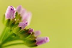 Λίγο λουλούδι βλαστάνει Στοκ Φωτογραφίες