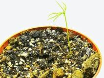 Λίγο πεύκο που βλασταίνουν άσπρο από τους σπόρους στοκ φωτογραφία