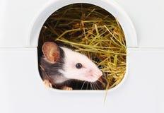 Λίγο ποντίκι που κολλά τη μύτη του από την τρύπα στοκ φωτογραφία με δικαίωμα ελεύθερης χρήσης