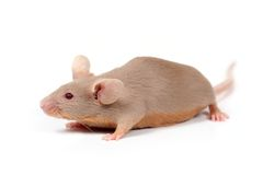 λίγο ποντίκι Στοκ Εικόνες