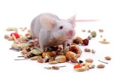 λίγο ποντίκι Στοκ Εικόνα