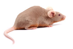 λίγο ποντίκι Στοκ φωτογραφία με δικαίωμα ελεύθερης χρήσης
