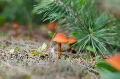 Λίγο πορτοκαλί μανιτάρι Στοκ εικόνα με δικαίωμα ελεύθερης χρήσης