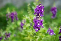 Λίγο πορφυρό λουλούδι στον κήπο Στοκ Φωτογραφίες